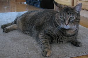 Adult tigerstripe cat on a rug in the kitchen