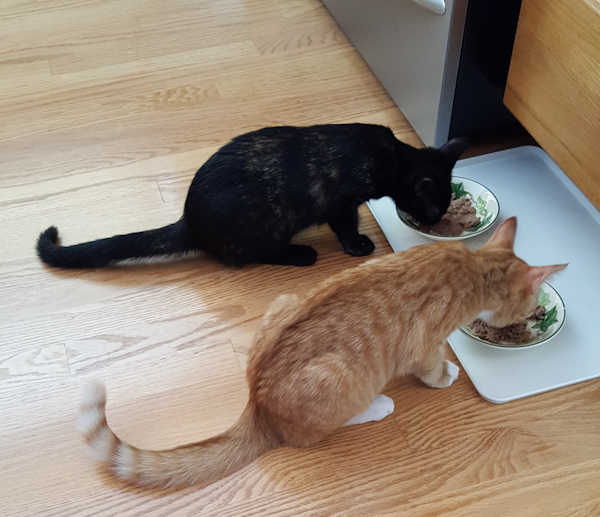 Young cats eating in the kitchen